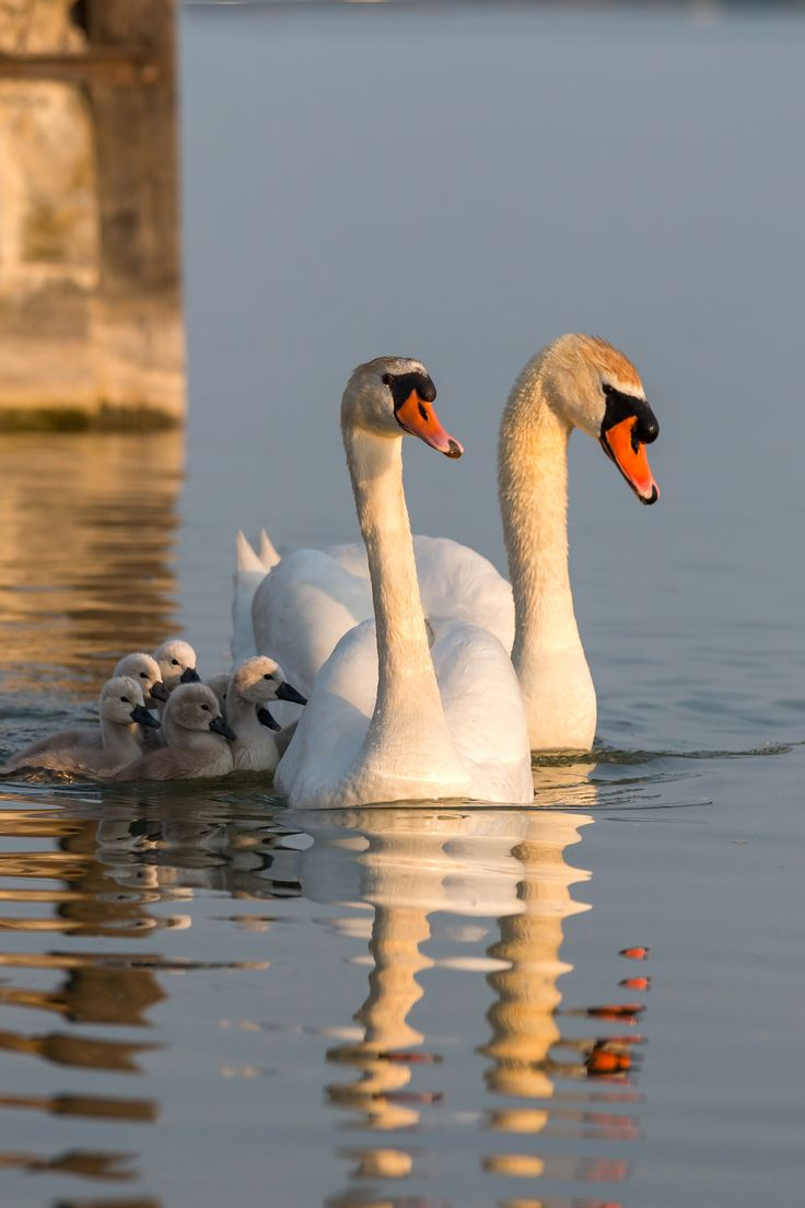 Swan family - Close up of a swan family at sunset light