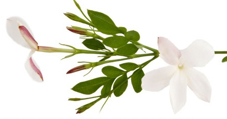 #JASMINE  Esteemed in Asia, where its blossoms symbolize love and respect, this uplifting floral infuses #AVEDA Love Pure-Fume family.  Also the source of an aromatic, smoothing wax, jasmine is used fro #AVEDA's Petal Essence eye & cheek color.
