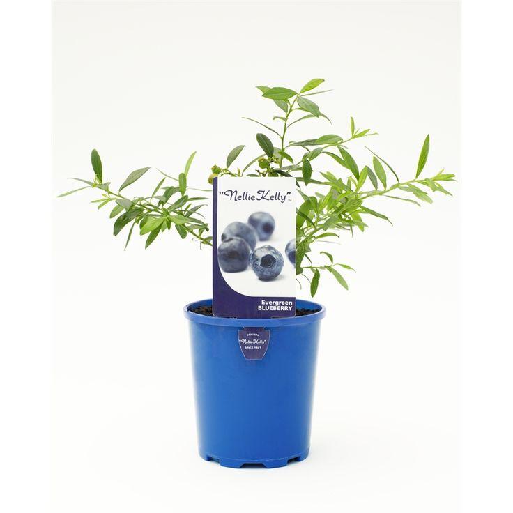 125mm Sunshine Blue Blueberry Vaccinyum Corymbusm Ashei Darrowi Blueberry Plant Garden Hardware Blueberry