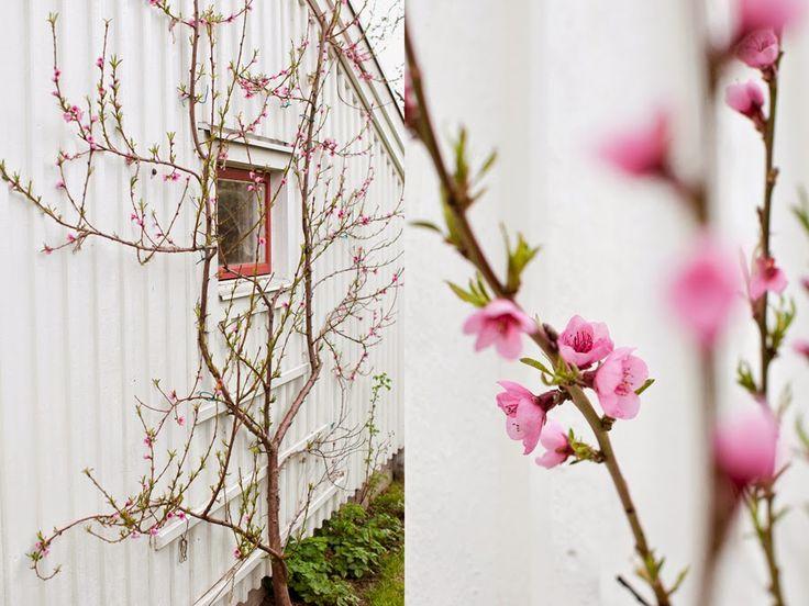 I år blommar det som en galning, persikoträdet. Jag håller tummarna för många goda persikor.