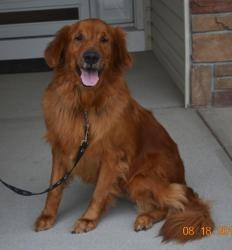 This is Tank - 4 years old. He is potty trained, neutered and up to date with vaccinations. Tank is looking for a forever home and is at Golden Retriever Rescue in Nebraska.