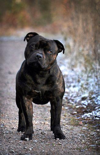 english staffordshire bull terrier | Tumblr