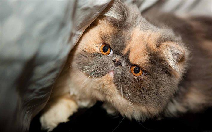 Télécharger fonds d'écran chat persan, le museau, mignon, animaux, chatons, chats