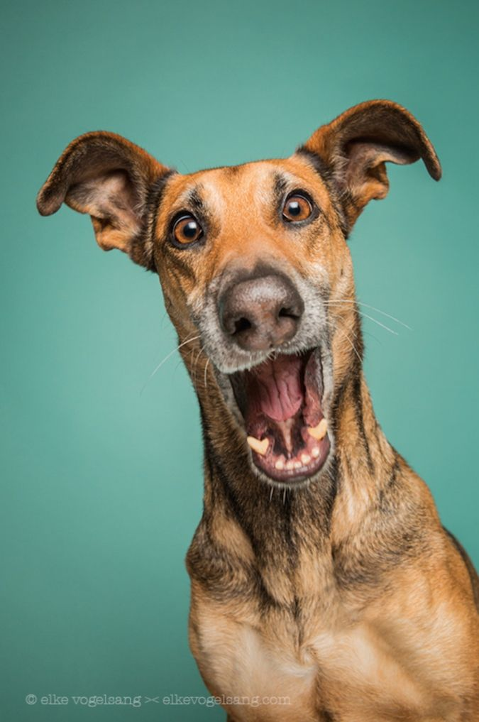 "Hildesheim, Germany-based photographer Elke Vogelsang (a.k.a. ""Wieselblitz"") turns her lens toward her three dogs to capture the essence of their vibrant personalities. Vogelsang, incredibly expressive pet portraits shot in a studio setting. After years of experience modeling for Vogelsang, the photographer's rescue dogs Noodles, Scout, and Ioli appea..."