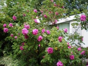 rose-bush-plants care
