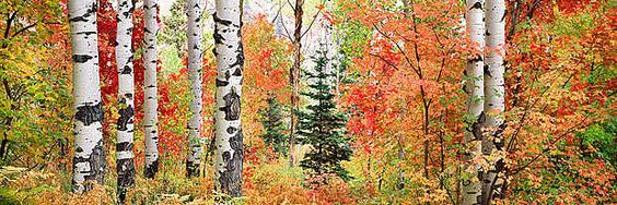 Steven Friedman photography panorama of forest's fall colors in sunlight: