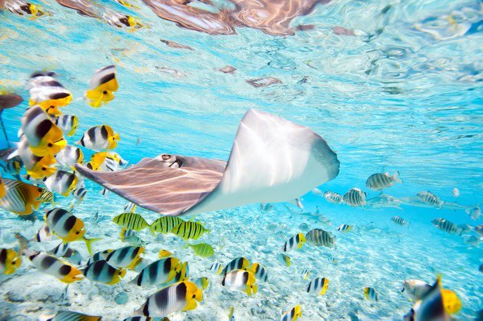 Underwater scene in lagoon of Bora Bora showcasing butterfly fish and a ray