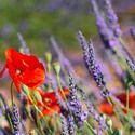 Lavender Flowers, Lavender Flower, Blue Lavender, Pink Lavender, White Lavender, Purple Lavender, English Lavender, Spanish lavender, French Lavender, Common lavender, True Lavender, lavandula angustifolia, lavandula stoechas, lavandula x intermedia