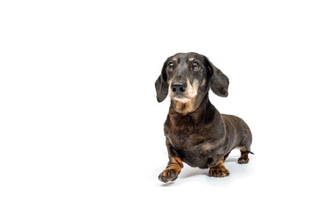 Pet Photography Gloucester - Sausage Dog Daschund