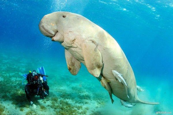 dugong: Dugonglar'ın boyu 2,7 metre. ağırlığı 250-300. Hint Okyanusu, Doğu Afrika, Kızıldeniz, Güneydoğu Asya kıyıları, Avustralya'nın kuzey kıyıları ve Hindistan'ın batı sahillerinde yaşarlar. Deniz ineği, deniz domuzu veya deniz devesi de denir. Yüzyıllarca eti ve yağı için avlanan bu hayvanların nüfusları 20 binin altında.
