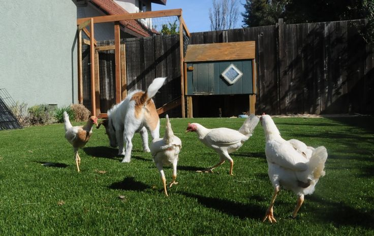 How Do I Train My Dog to Stop Chasing the Chickens, Cat, Rat…And Our Other Pets? | Animal Behavior and Medicine Blog | Dr. Sophia Yin, DVM, MS