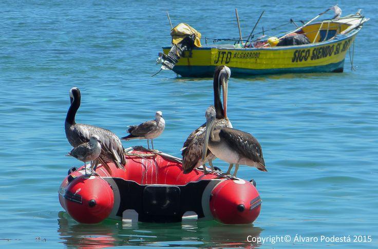 Pelícanos y gaviotas