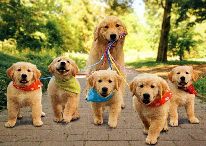 golden retrivers getting walked by their mommy
