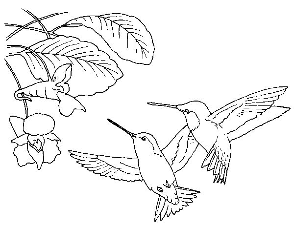 Hummingbirds coloring page - Free Printable Coloring Pages