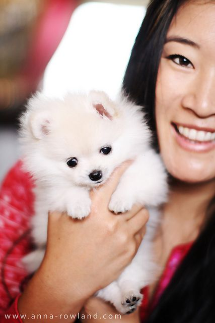 Butter, the Teacup Pomeranian by hapatxn, via Flickr