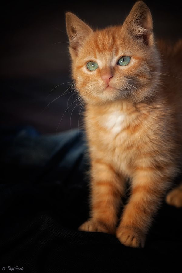Just like our Simba, only Simba's long smooth fur, big paws, and fluffier face and a really long Fluffy tail...which looks like another animal on him :)  :)  :)