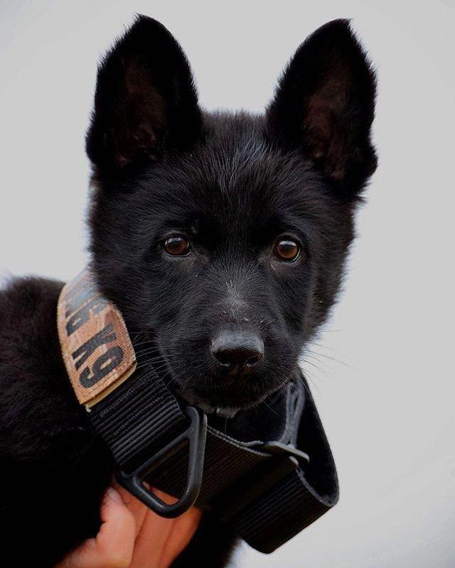 Receive Excellent Recommendations On German Shepherd They Are On Call For You On Our Interne Mit Bildern Schwarzer Deutscher Schaferhund Schaferhunde Deutsch Schaferhunde