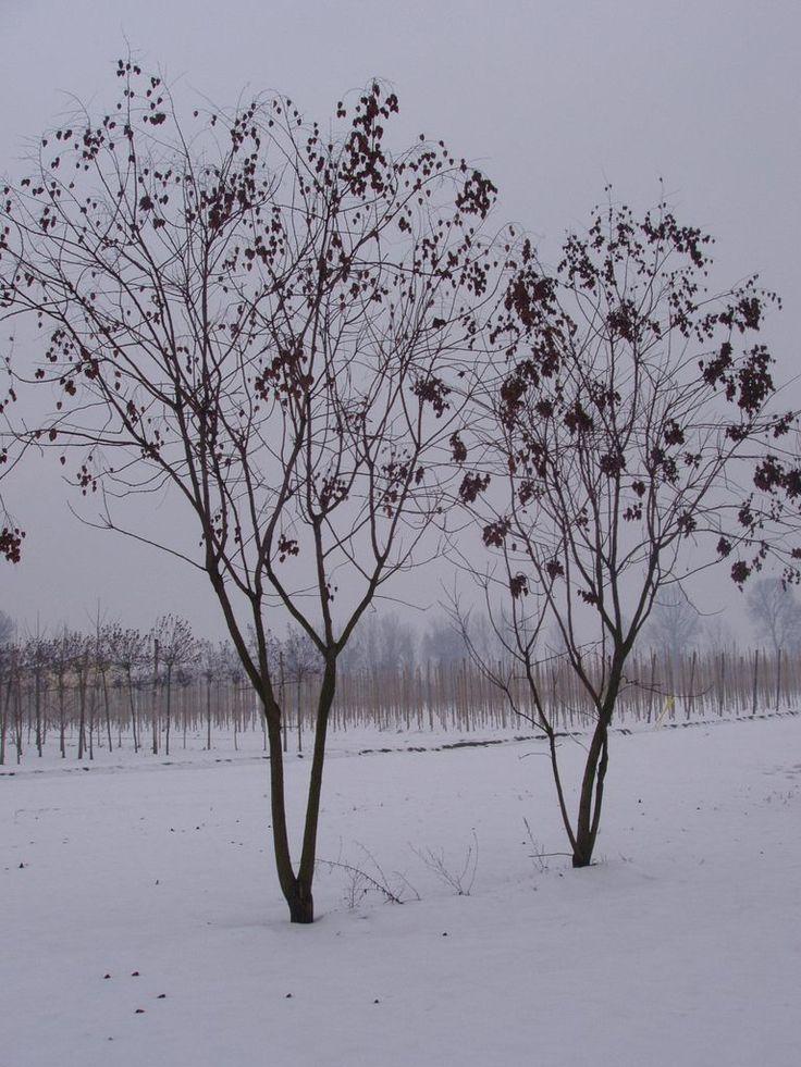Koelreuteria paniculata - Blasenesche - Blasenbaum - Chinesischer Lackbaum mehrstämmig – kleiner Strauchbaum mit schirmförmiger Krone die bis zu 5m breit wird. Verträgt gut Hitze und kommt auch mit Stadtklima gut klar. Auch gut als Schattenspender an Terrassen geeignet.
