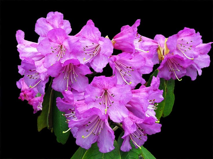Magenta Rhododendron in Shingba Sanctuary, Yumthang - North Sikkim, India (Photographic Print - Unframed)
