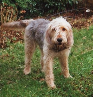 The Otterhound is a big, lovable dog with an excellent personality. Fairly low-key around the house, the Otterhound is friendly and outgoing with family members but appreciates long naps and personal space. This is an independent dog, but not a loner: It gets along very well with strangers, other pets and older children