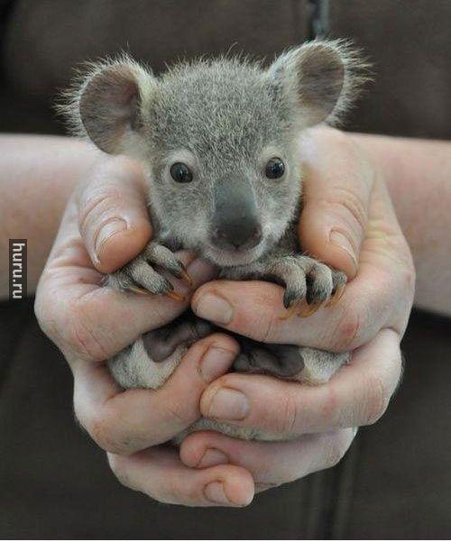Huru.ru :: Детеныш коалы, мимими