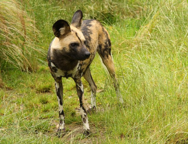 Also known as the Cape hunting dog and the painted dog, the African wild dog is a member of the canid family and is only found in Africa. These dogs were once abundant throughout the continent, with a population of around 500,000. Currently, there are only around 3,000-5,000 left in scattered areas of southern, eastern and central African woodlands and savannas. (Shutterstock)