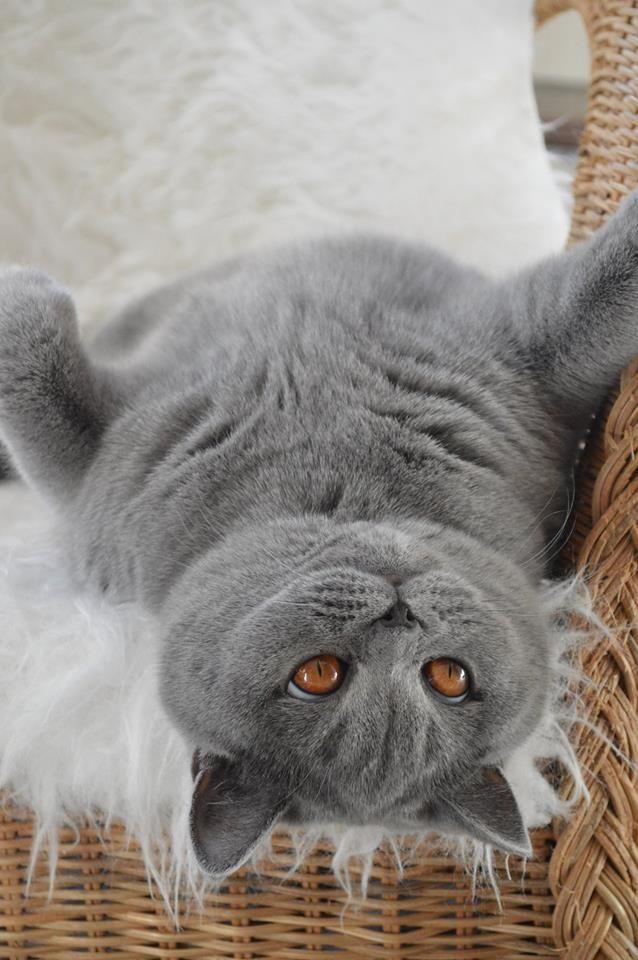 С добрым утром вислоухие коты фото