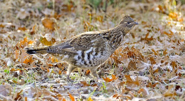 Some hunters seem to have a sixth sense about where ruffed grouse will be located. These are the guys who suddenly become serious and tell you to get ready because ...