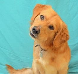 Adopted! Jackson 18663021 is an adoptable Golden Retriever Dog in Hamilton, OH. Jackson is current on shots, licensed and microchipped. Jackson is quite the unique looking boy.  He looks just like a Golden Ret...