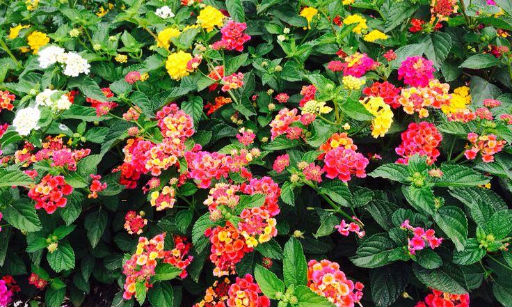 Lantanas tuti fruti flores plantas y sus nombres for Nombres d plantas ornamentales