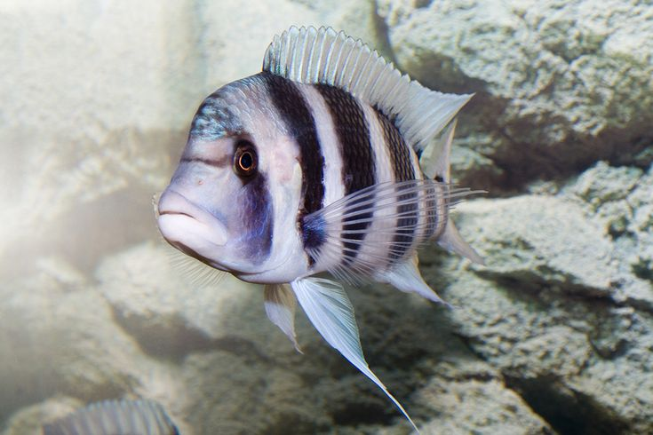 Baby Frontosa Cichlid 17 Best images about F...