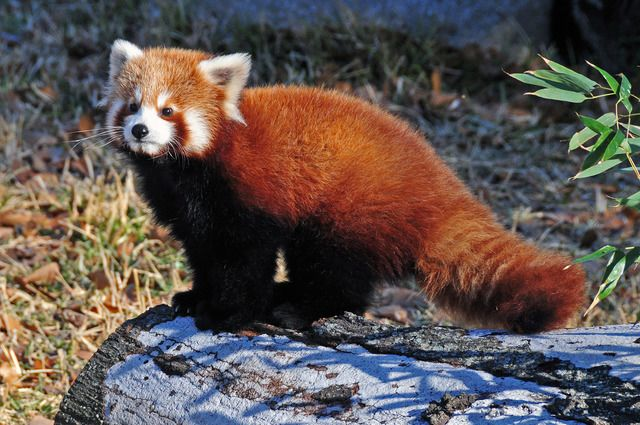 2467 best Red Panda images on Pinterest