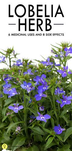 Do you rely on the effectiveness of a cup of tea in banishing your Monday morning blues? The Lobelia herbal tea, will not just chase away your drowsiness, but also benefit you in numerous other ways?