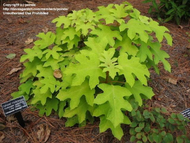 Golden dwarf oakleaf hydrangea (Hydrangea quercifolia Little Honey)