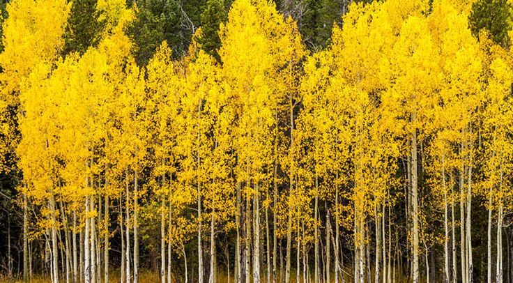 Last winter while visiting a natural history museum in Colorado, I learned some remarkable facts about the aspen tree. An entire grove of slender, white-trunked aspens can grow from a single seed a…