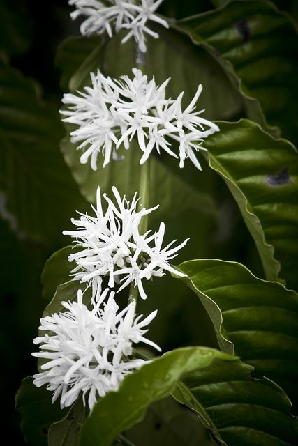 Coffee Flowers (Coffea Arabica). Is an alternative for the end bed instead of the vertical Buxus as they do grow okay in shade, but bear in mind they may take up to four years to flower and fruit. Bit of a commitment really.