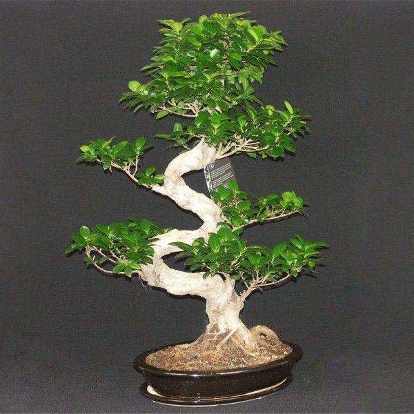 87 best images about bonsai informal upright moyogi on. Black Bedroom Furniture Sets. Home Design Ideas