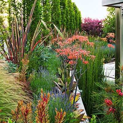 This nook blends shrubs, perennials, grasses, and succulents from Mediterranean climates across the globe. 'Jetsetter' leucadendron is in the foreground. Behind it we see lavender and Aloe striata, and beyond that phormiums. On the right hand side are pink grevillea flowers followed by tall, stiff stalks of equisetum.