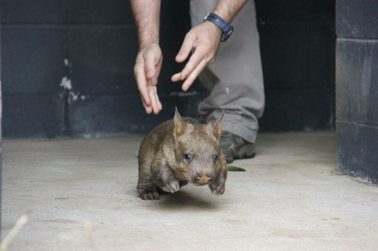 Baby wombat taking first steps alone