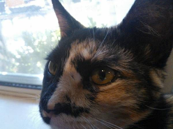 17 Best Images About Chimera Cats On Pinterest Calico