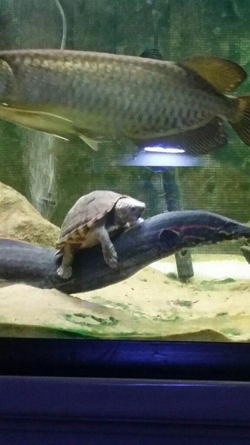 Tumblr: bibidebabideboo:  (水中で亀がうなぎに乗るとなんだろうこのファンタジー感は:らばQから)