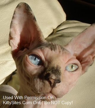 hairless cats for sale...def want the different colored eyes