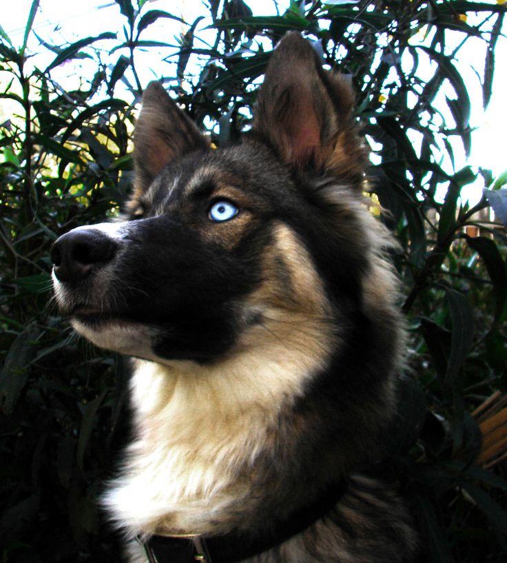 German shepherd/Australian shepherd