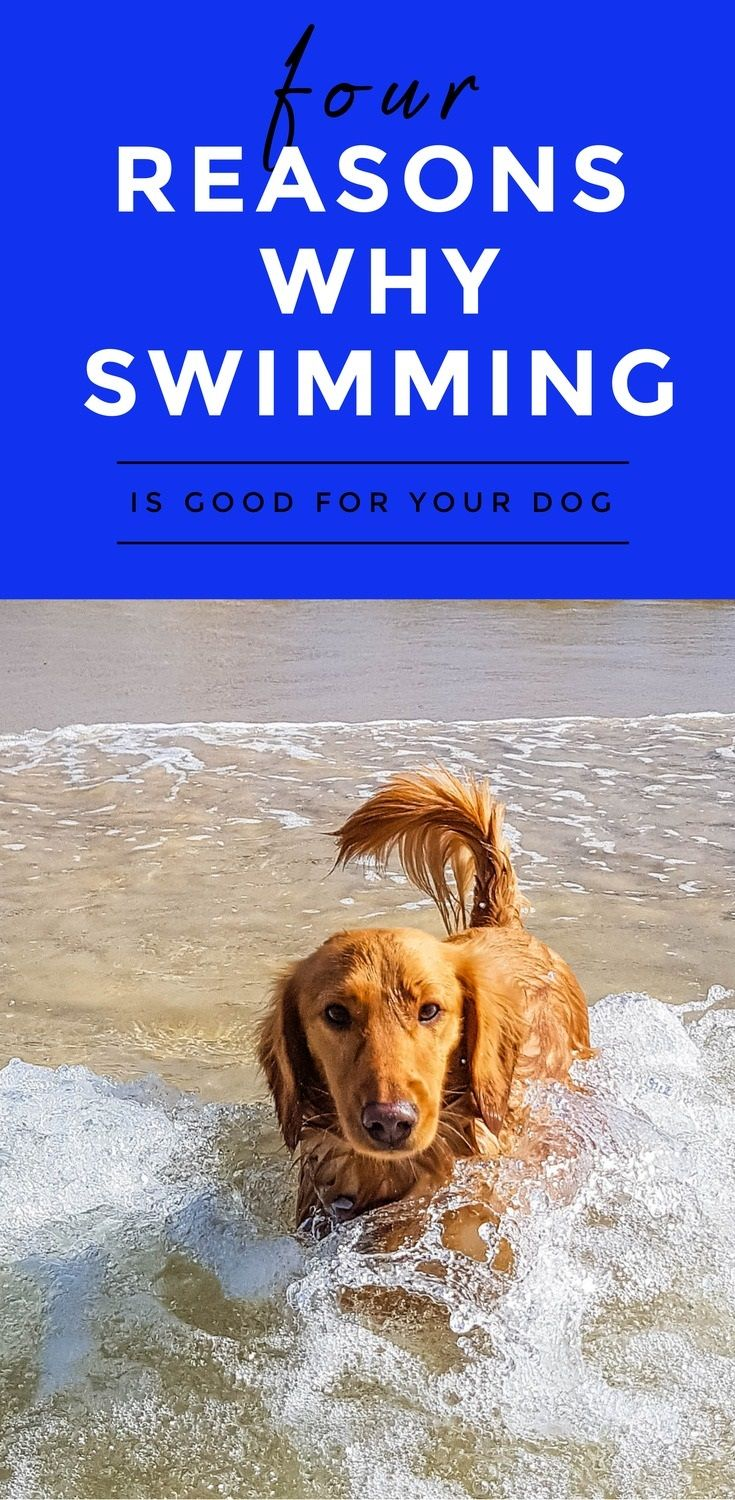 We've got four pawsome reasons why you should go swimming with your dog this weekend --> http://doxiesdownunder.com/why-swimming-is-good-for-your-dog/ #dogs #doglover #pets #dachshund #miniaturedachshund