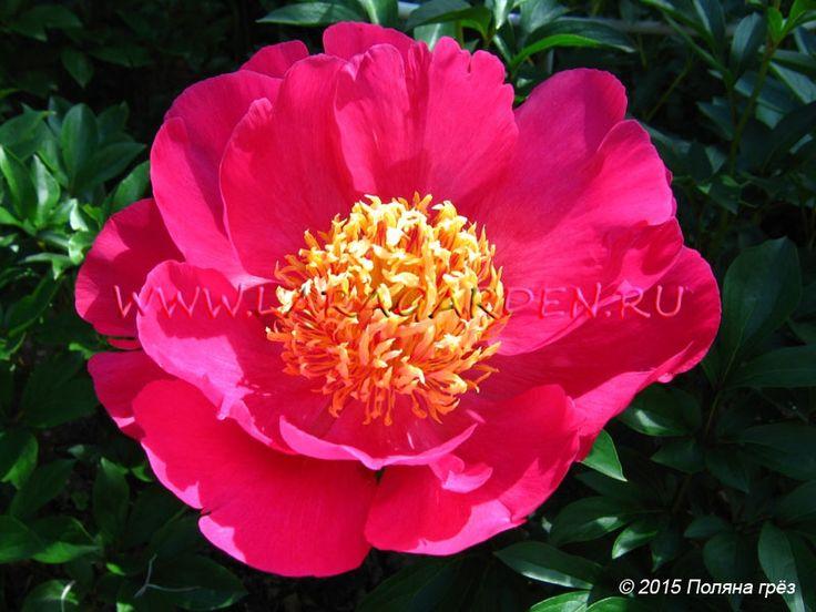 Commanche (Bigger, 1964)форма цветка: Явысота: 90