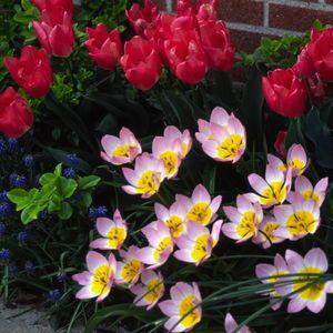Brent And Becky's Bulbs: Tulipa - bakeri 'Lilac Wonder'