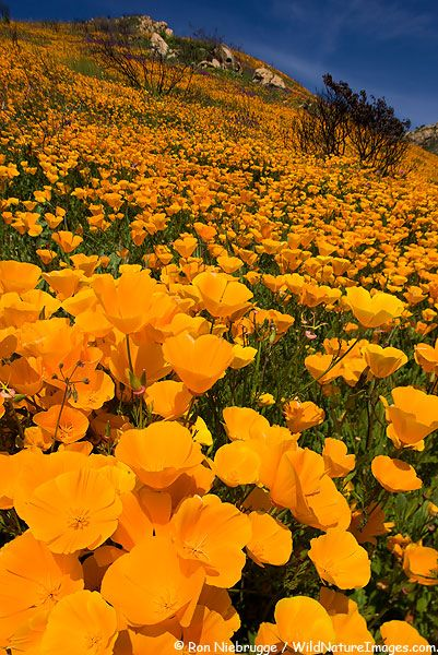 California Poppy bloom in the hills of San Diego County  Witch Creek Fire near Lake Hodges, California