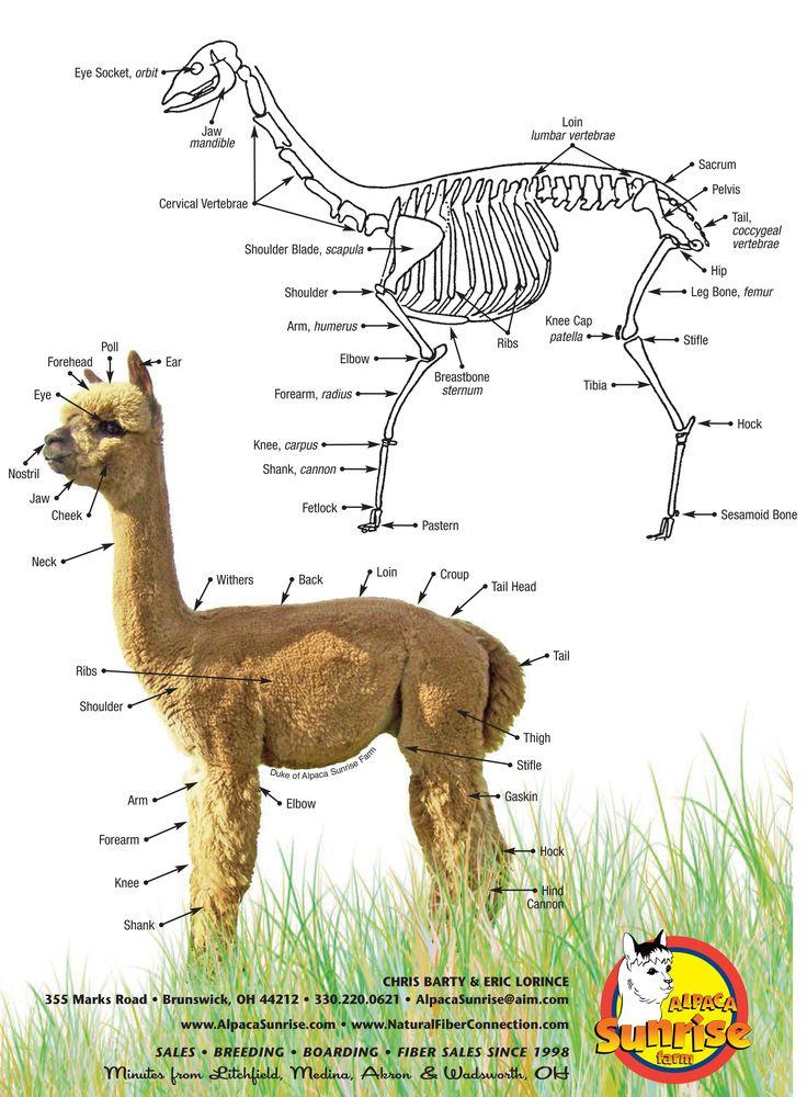 The Anatomy of an Alpaca. Alpaca Sunrise Farm is a full-service Alpaca farm since 1998 • Alpaca sales • breeding • boarding • Alpaca raw fiber, yarn, roving sales for knitters, crocheters, weavers and fiber artists. www.AlpacaSunrise... #alpaca #alpacas #anatomy