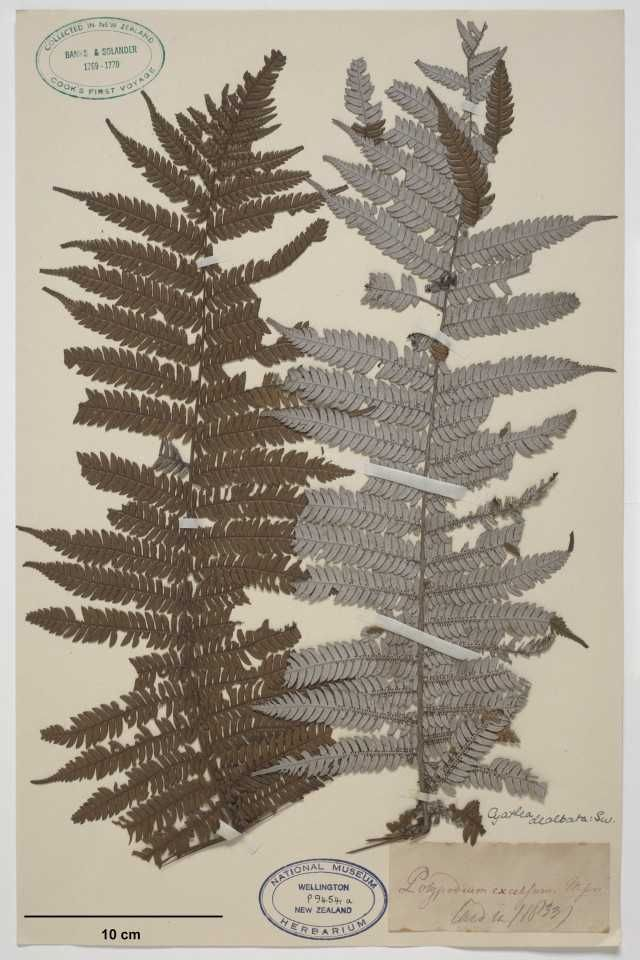 Silver Fern, 1833. Banks and Solander Collection, Te Papa