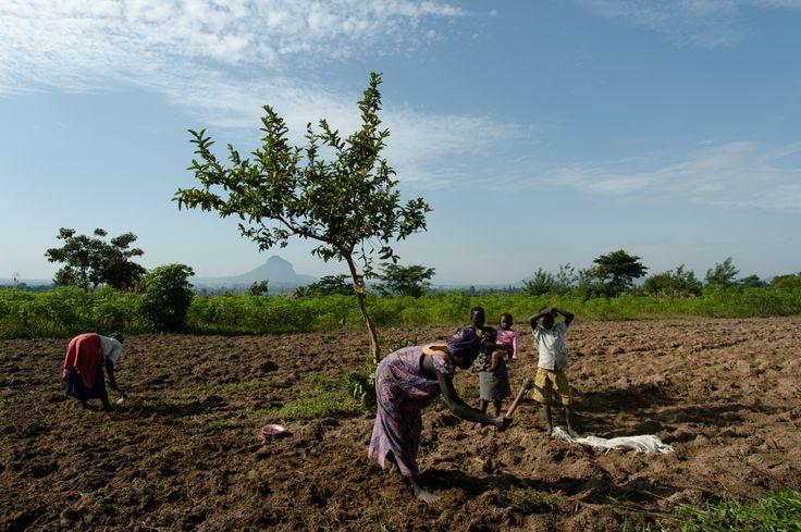 Mujeres plantando cacahuetes cerca de Tororo en Uganda.